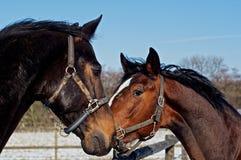 Ritratto dei cavalli Immagini Stock
