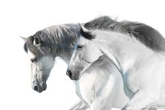 Ritratto dei cavalli bianchi fotografia stock libera da diritti