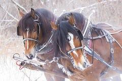 Ritratto dei cavalli da tiro Fotografia Stock
