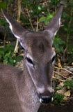Ritratto dei cervi Fotografie Stock
