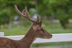 Ritratto dei cervi in azienda agricola Tailandia Fotografia Stock