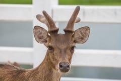 Ritratto dei cervi in azienda agricola Tailandia Fotografia Stock Libera da Diritti
