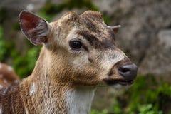 Ritratto dei cervi di aratura Fotografia Stock