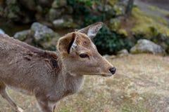 Ritratto dei cervi a Nara fotografia stock