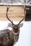 Ritratto dei cervi sui precedenti della neve Immagine Stock