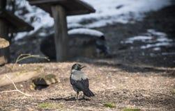 Ritratto dei corvi che mangiano nello zoo Immagini Stock