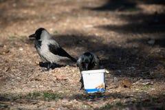 Ritratto dei corvi che mangiano nello zoo Fotografia Stock