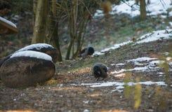 Ritratto dei corvi che mangiano nello zoo Fotografie Stock