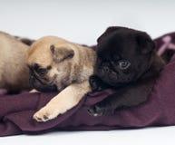 Ritratto dei cuccioli del carlino Immagine Stock Libera da Diritti