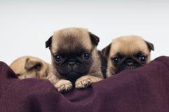 Ritratto dei cuccioli del carlino Fotografie Stock