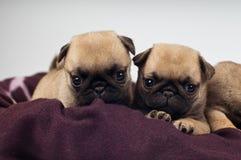 Ritratto dei cuccioli del carlino Fotografia Stock Libera da Diritti
