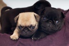 Ritratto dei cuccioli del carlino Fotografia Stock