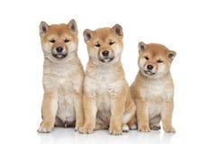 Ritratto dei cuccioli di inu di Shiba fotografie stock