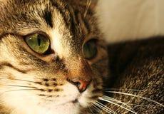 Ritratto dei gatti Immagine Stock Libera da Diritti
