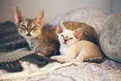 Ritratto dei gatti adorabili di Devon Rex - generi ed il suo piccolo gattino di un mese Immagini Stock
