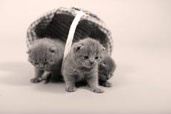 Ritratto dei gattini che resta in un canestro Fotografia Stock