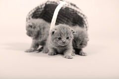 Ritratto dei gattini che resta in un canestro Fotografia Stock Libera da Diritti