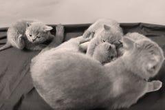 Ritratto dei gattini di Britannici Shorthair, Immagini Stock