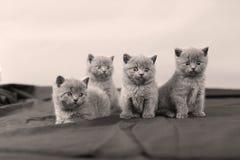 Ritratto dei gattini di Britannici Shorthair, Immagine Stock