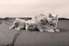 Ritratto dei gattini di Britannici Shorthair, isolato Fotografia Stock Libera da Diritti