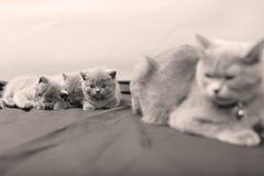 Ritratto dei gattini di Britannici Shorthair, isolato Fotografie Stock Libere da Diritti