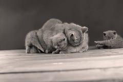 Ritratto dei gattini di Britannici Shorthair, isolato Immagine Stock