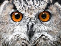 Ritratto dei gufi Owl Eyes Immagine Stock