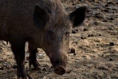 Ritratto dei maiali selvaggi fotografie stock libere da diritti