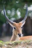 Ritratto del antilope del dell'Ellisse di Cobo Immagine Stock