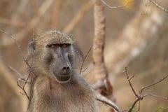 Ritratto del babbuino di Chacma maschio nel parco di Kruger Fotografie Stock Libere da Diritti