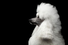 Ritratto del barboncino reale bianco isolato su fondo nero immagini stock