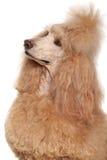 Ritratto del barboncino standard dell'albicocca Fotografie Stock