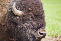 Ritratto del bisonte americano Fotografia Stock Libera da Diritti
