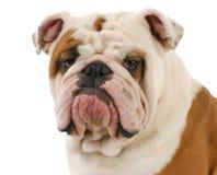 Ritratto del bulldog Fotografia Stock Libera da Diritti