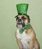 Ritratto del bulldog di giorno della st Patrick Immagini Stock