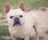 Ritratto del bulldog francese Immagine Stock