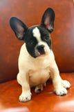 Ritratto del bulldog francese Fotografia Stock