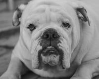 Ritratto del bulldog inglese bianco immagine stock