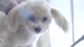 Ritratto del cagnolino stock footage