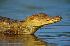 Ritratto del caimano di Yacare in acqua blu, negro di Cano, Costa Rica immagine stock