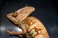 Ritratto del camaleonte Fotografia Stock Libera da Diritti