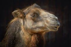 Ritratto del cammello Immagine Stock