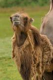 Ritratto del cammello del dromedario Fotografia Stock Libera da Diritti