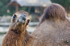 Ritratto del cammello di Brown Immagini Stock Libere da Diritti