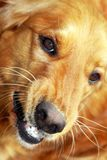 Ritratto del cane Fotografia Stock