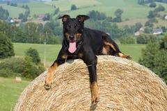 Ritratto del cane Fotografia Stock Libera da Diritti