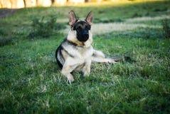 Ritratto del cane alsaziano Fotografie Stock Libere da Diritti