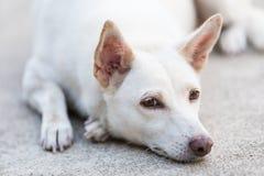 Ritratto del cane bianco che esamina macchina fotografica Fotografie Stock