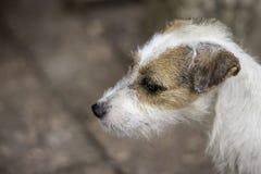 Ritratto del cane bianco sul mattone di marrone del pavimento immagini stock libere da diritti