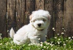 Ritratto del cane: Cane sveglio del bambino - cotone de Tulear del cucciolo Fotografia Stock Libera da Diritti